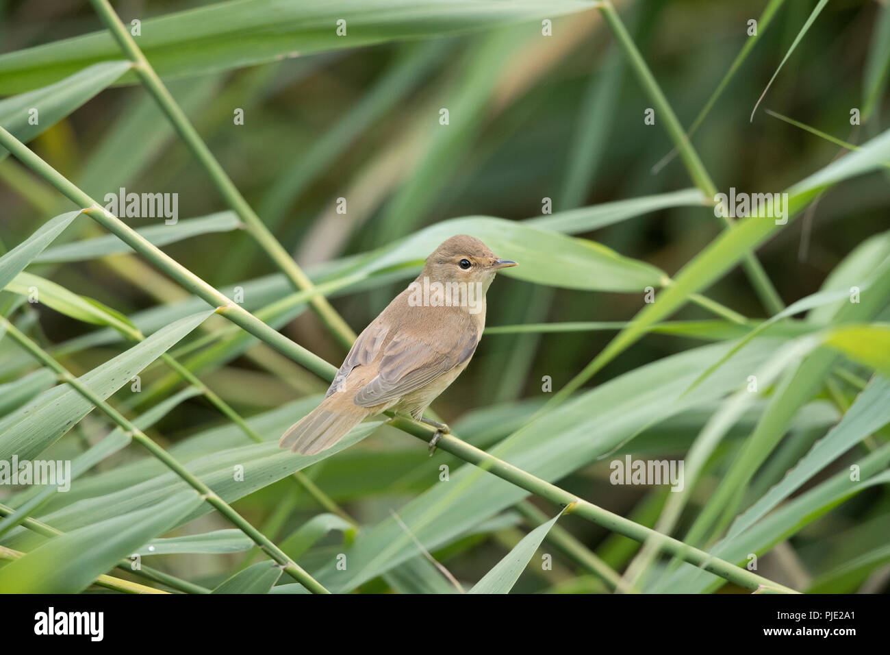 Juvenile Reed Warbler Shropshire Border Uk Stock Photo Alamy