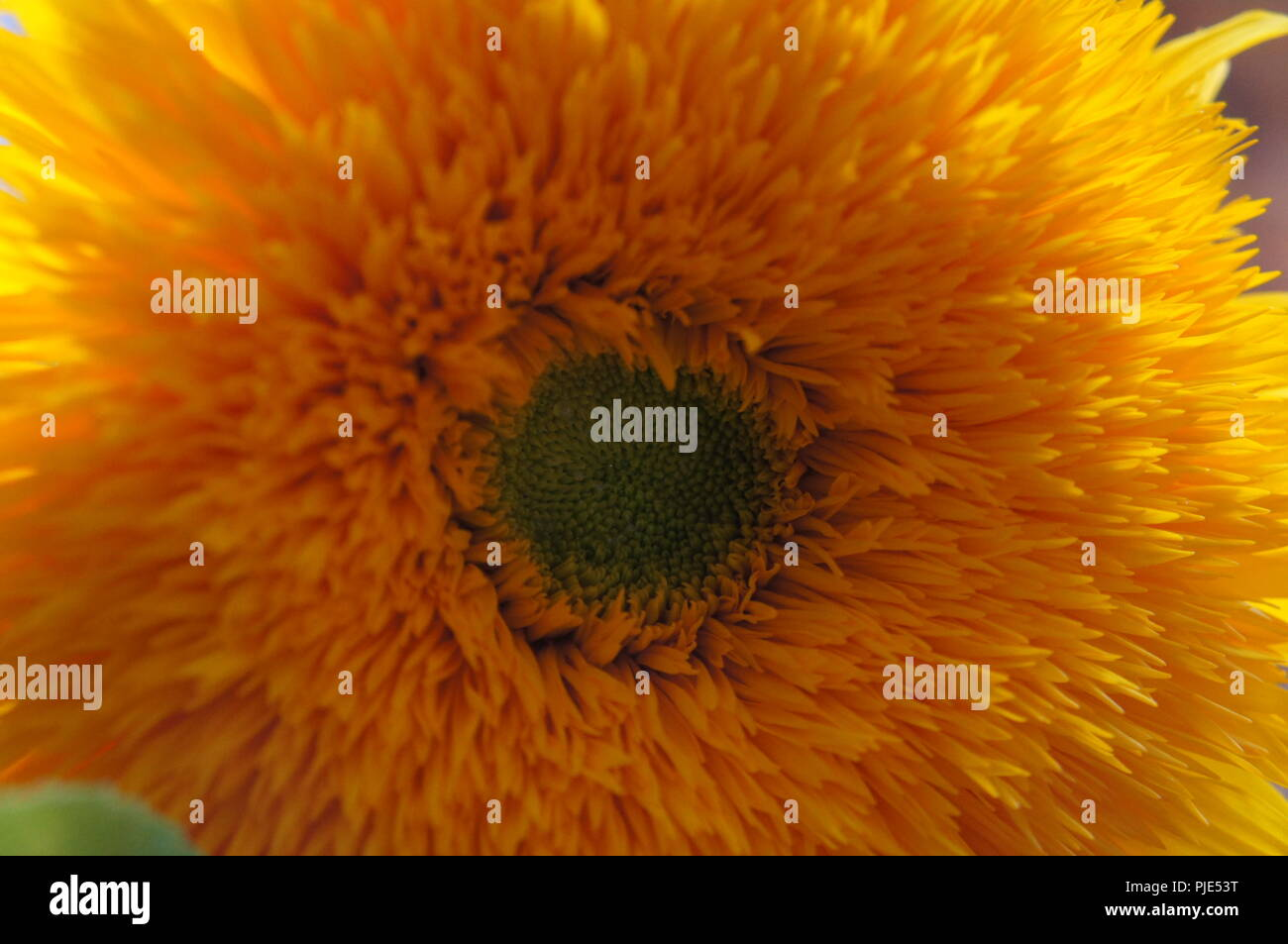 Sunflower teddy bear Helianthus annuus orange, Tournesol teddy bear Helianthus annuus orange, Osito de peluche Helianthus annuus naranja, Sonnenblumen - Stock Image
