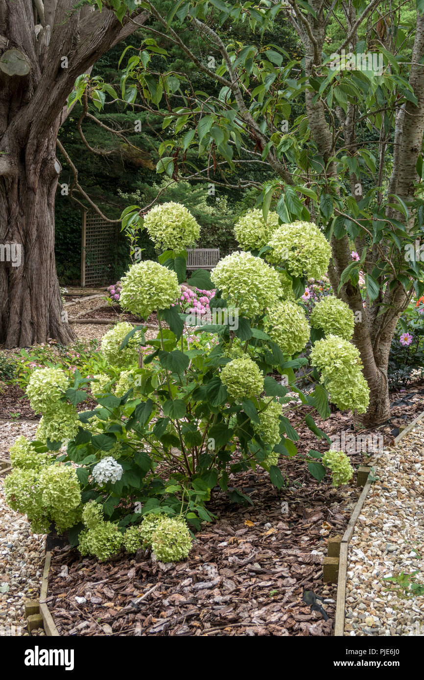 The large flowers of hydrangea Strong Annabelle turn a pale green as they fade into autumn. - Stock Image