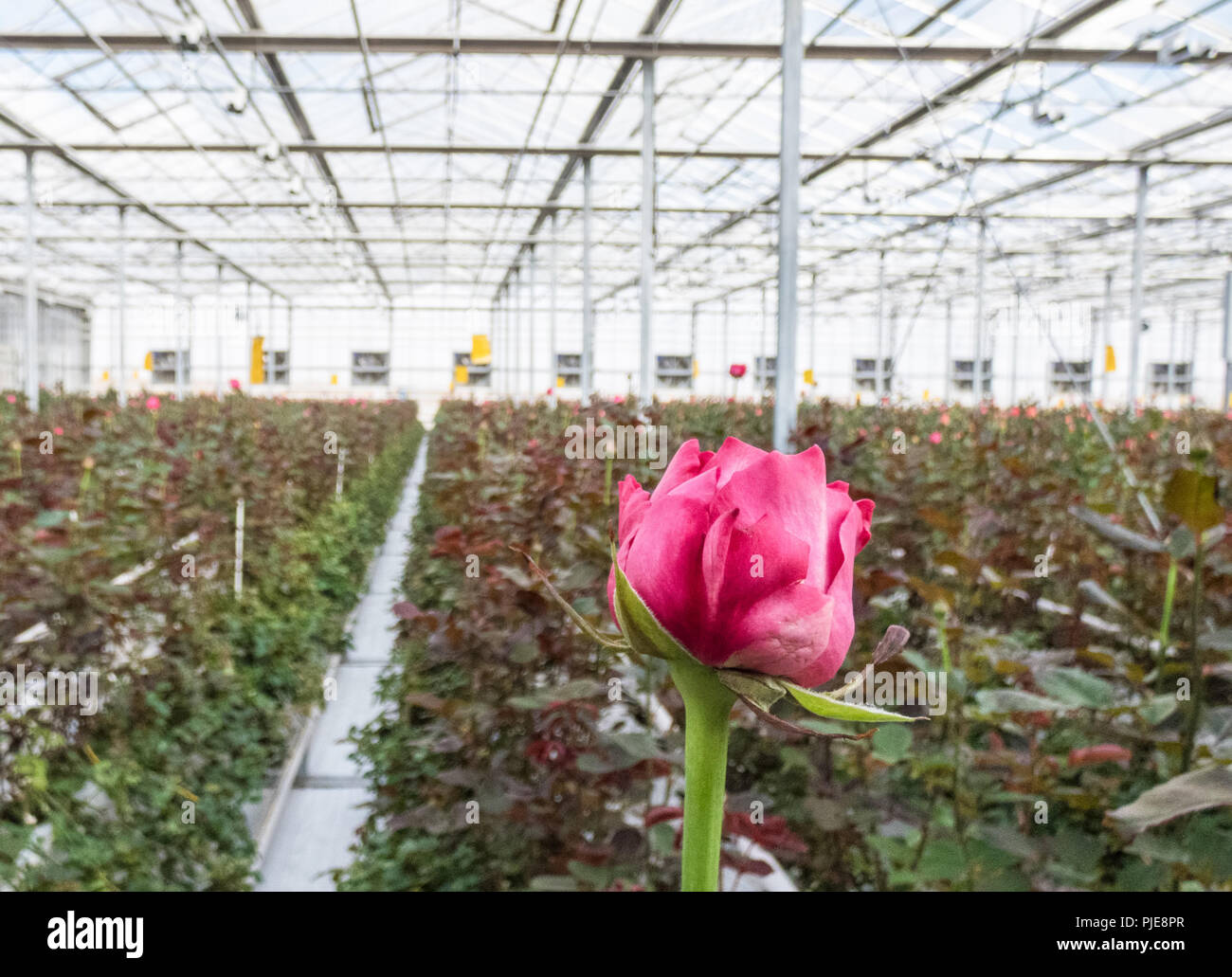 close-up of a red rose on a blurred floral background in a greenhouse Stock Photo