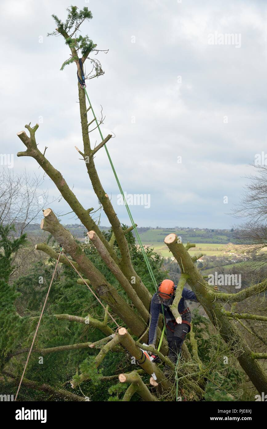 Tree surgeon supported by ropes and a harness, cutting branches of a Deodar cedar tree uprooted in a storm, Wiltshire UK, March. - Stock Image