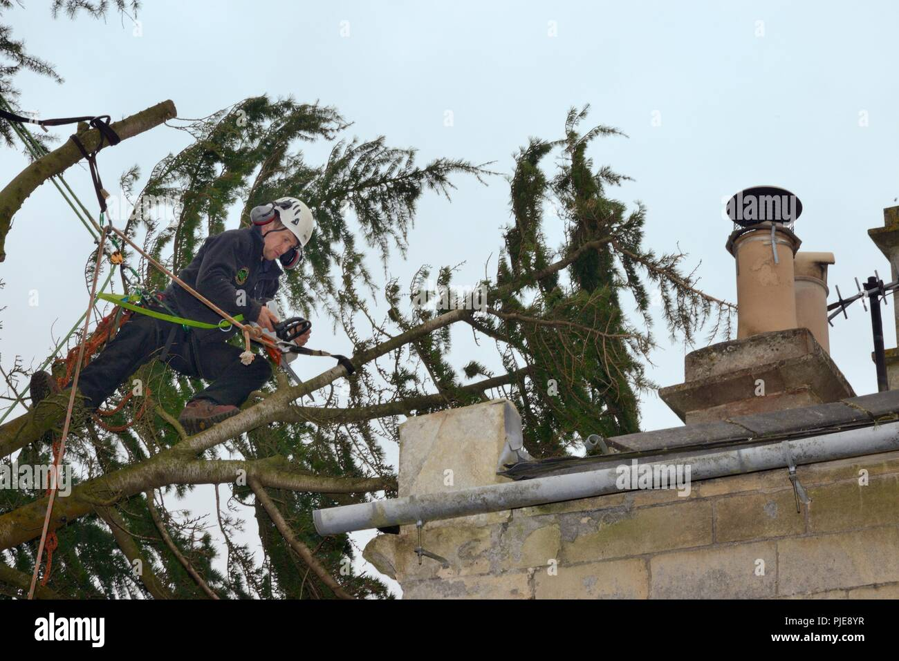 Tree surgeon cutting branches of a Deodar cedar tree blown down in a storm and overhanging  a house, Wiltshire UK, March. - Stock Image