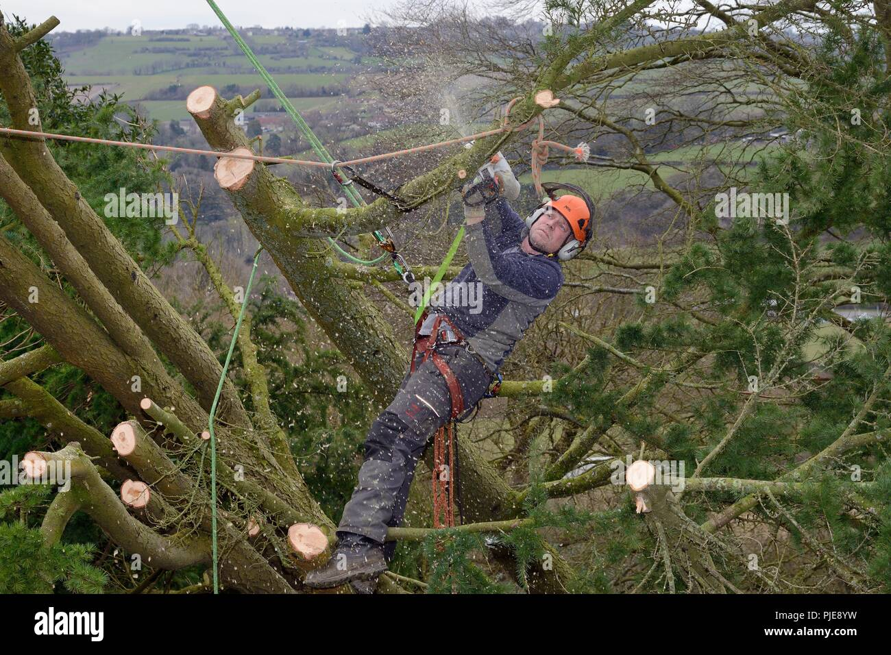 Tree surgeon cutting branches of a Deodar cedar tree uprooted in a storm, Wiltshire UK, March. - Stock Image