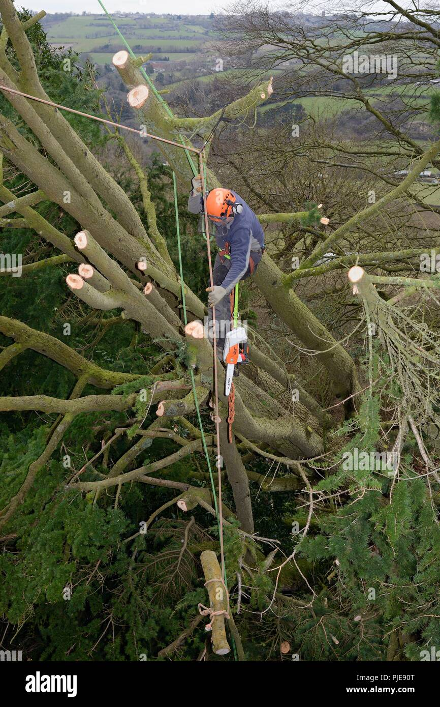 Tree surgeon lowering a cut branch of a Deodar cedar tree uprooted in a storm, Wiltshire UK, March. - Stock Image