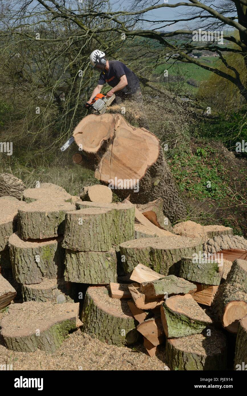 Tree surgeon sawing up trunk of a large Deodar cedar tree uprooted in a storm, Wiltshire UK, April. - Stock Image