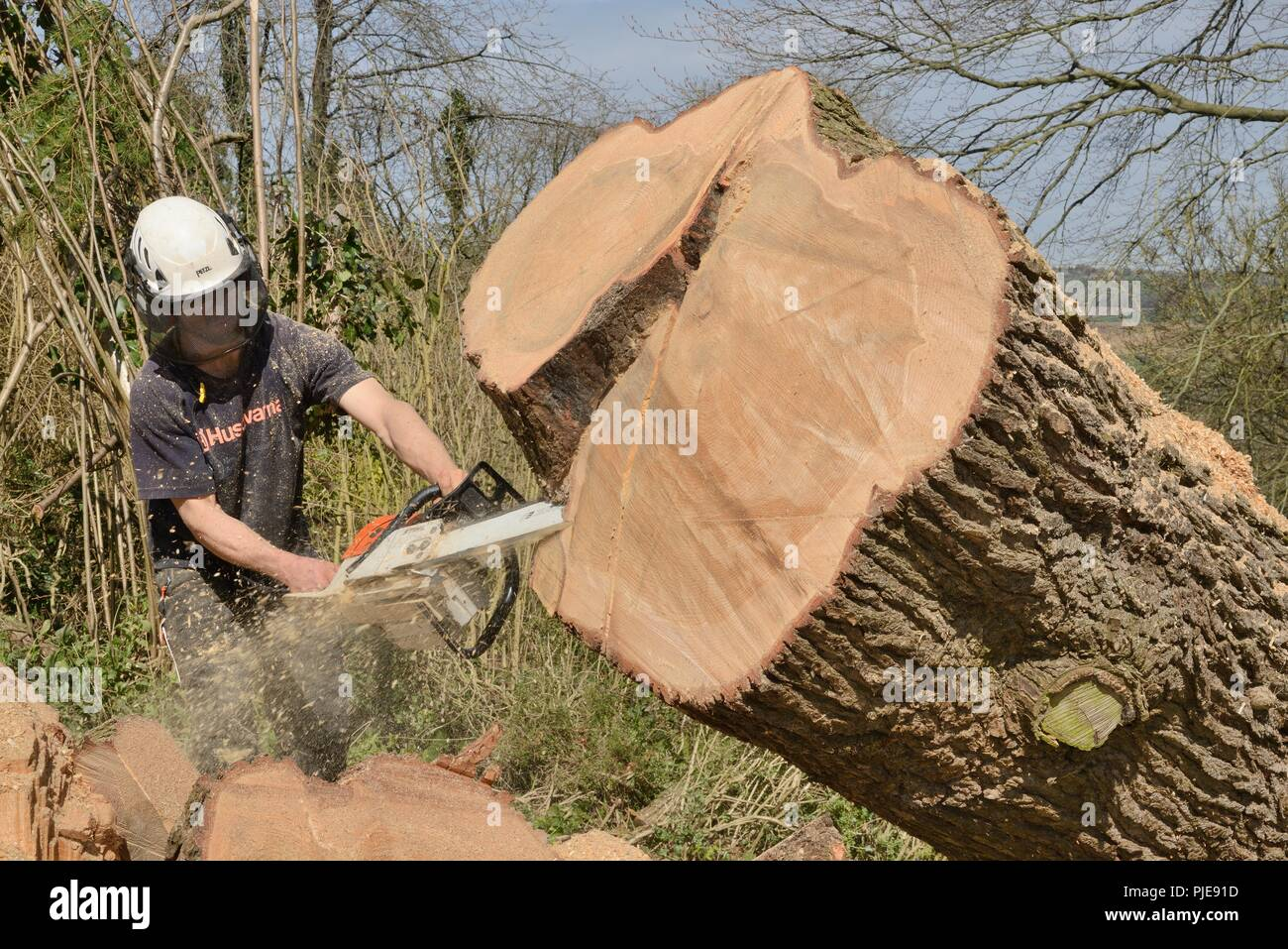 Tree surgeon sawing up the trunk of big Deodar cedar tree uprooted in a storm, Wiltshire UK, April. - Stock Image