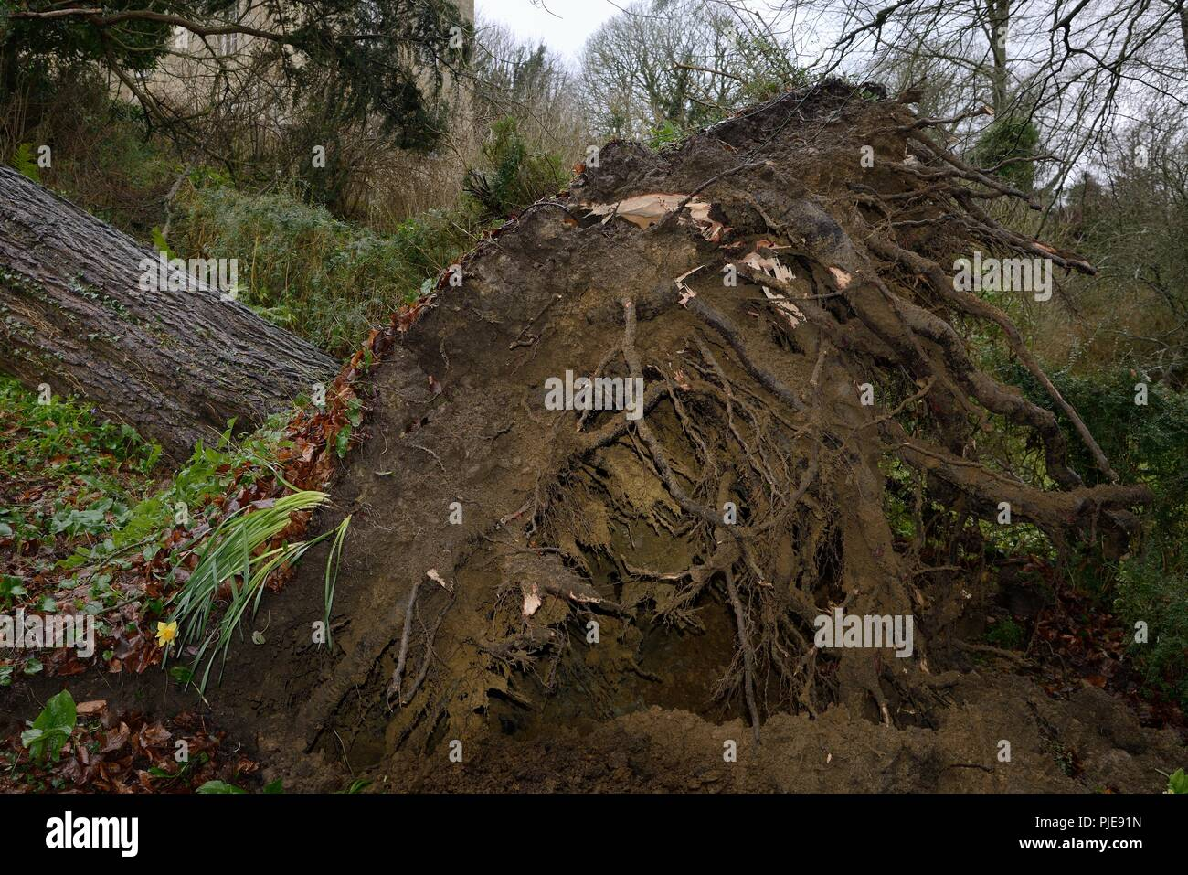 Deodar cedar tree  blown down and uprooted in a storm, Wiltshire, UK, March. - Stock Image