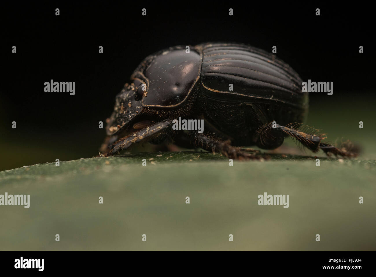 A dung beetle from the Amazon rain forest, photographed in Southern Peru. - Stock Image