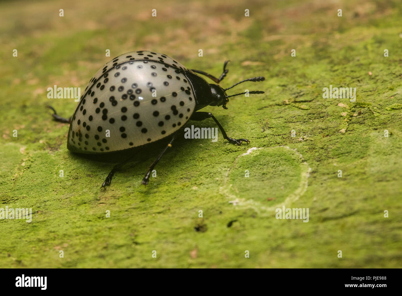A pleasing fungus beetle from the family Erotylidae, potentially Aegithus burmeisteri crawling along a log in Southern Peru. - Stock Image