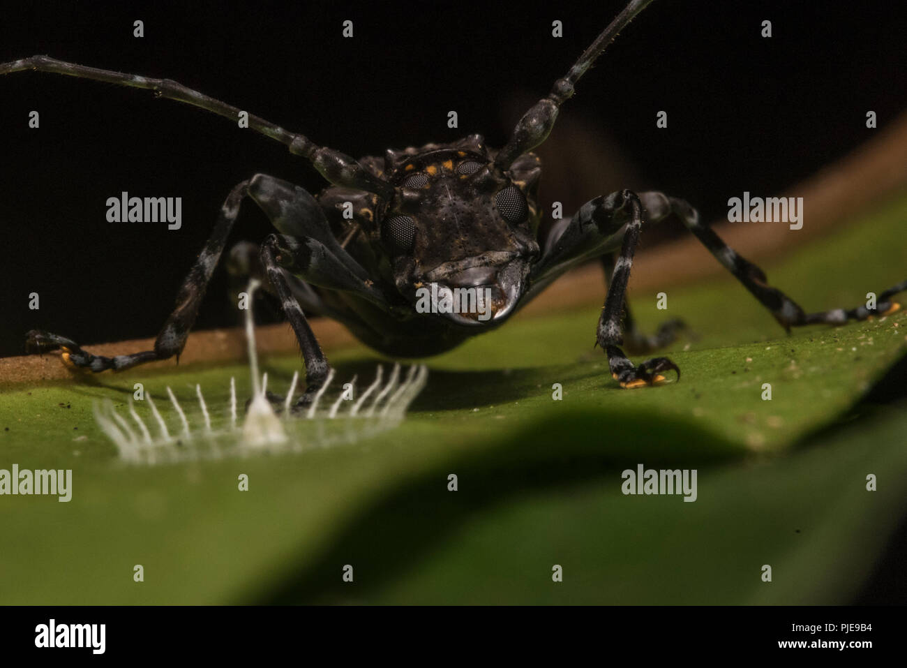 This mysterious structure is called silkhenge, it is made by a spider to house its eggs. Here a beetle stands nearby. - Stock Image