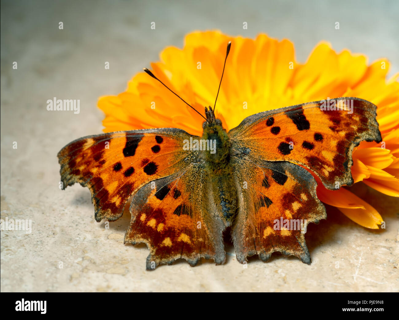 Comma Butterfly, Polygonia c-album, with a marigold flower in sunshine. Note this is a live butterfly, healthy mainly fluttering at the time  - Stock Image