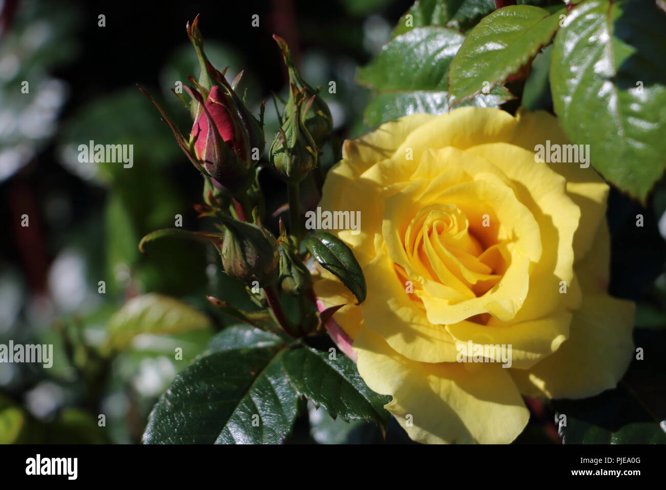 beautiful yellow rose and dark green leaves., picture taken in Alesund norway - Stock Image