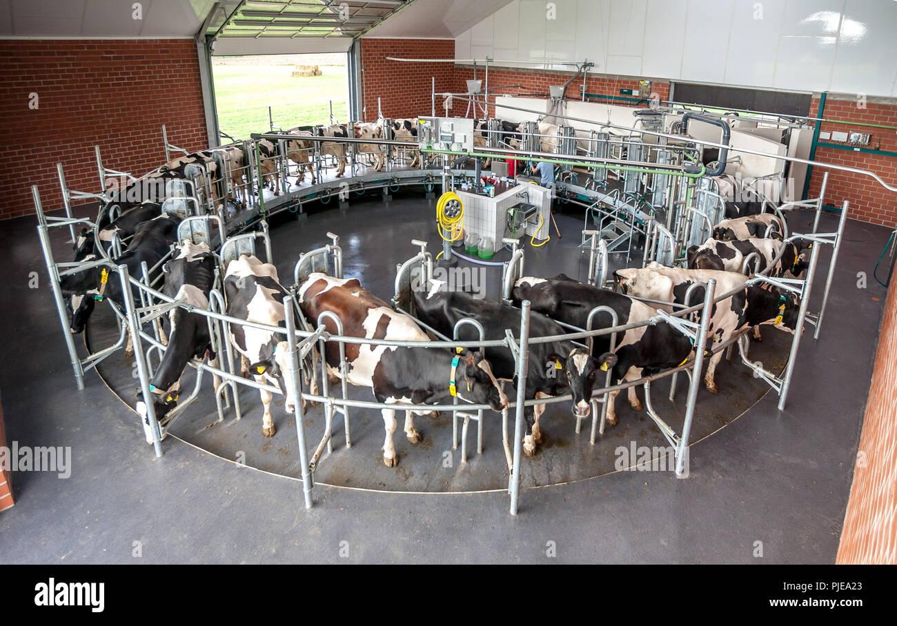 Kühe werden im Melkkarussell gemolken - Stock Image