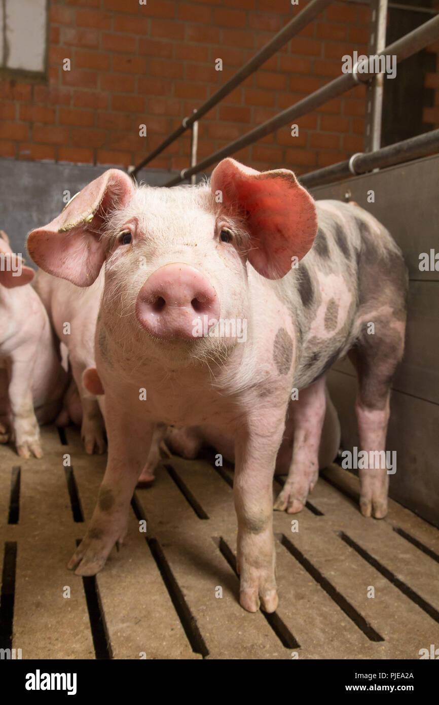 Schweinemast - Stock Image