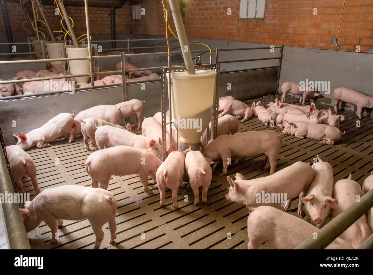 Schweinemast - AGRARMOTIVE Bilder aus der Landwirtschaft - Stock Image