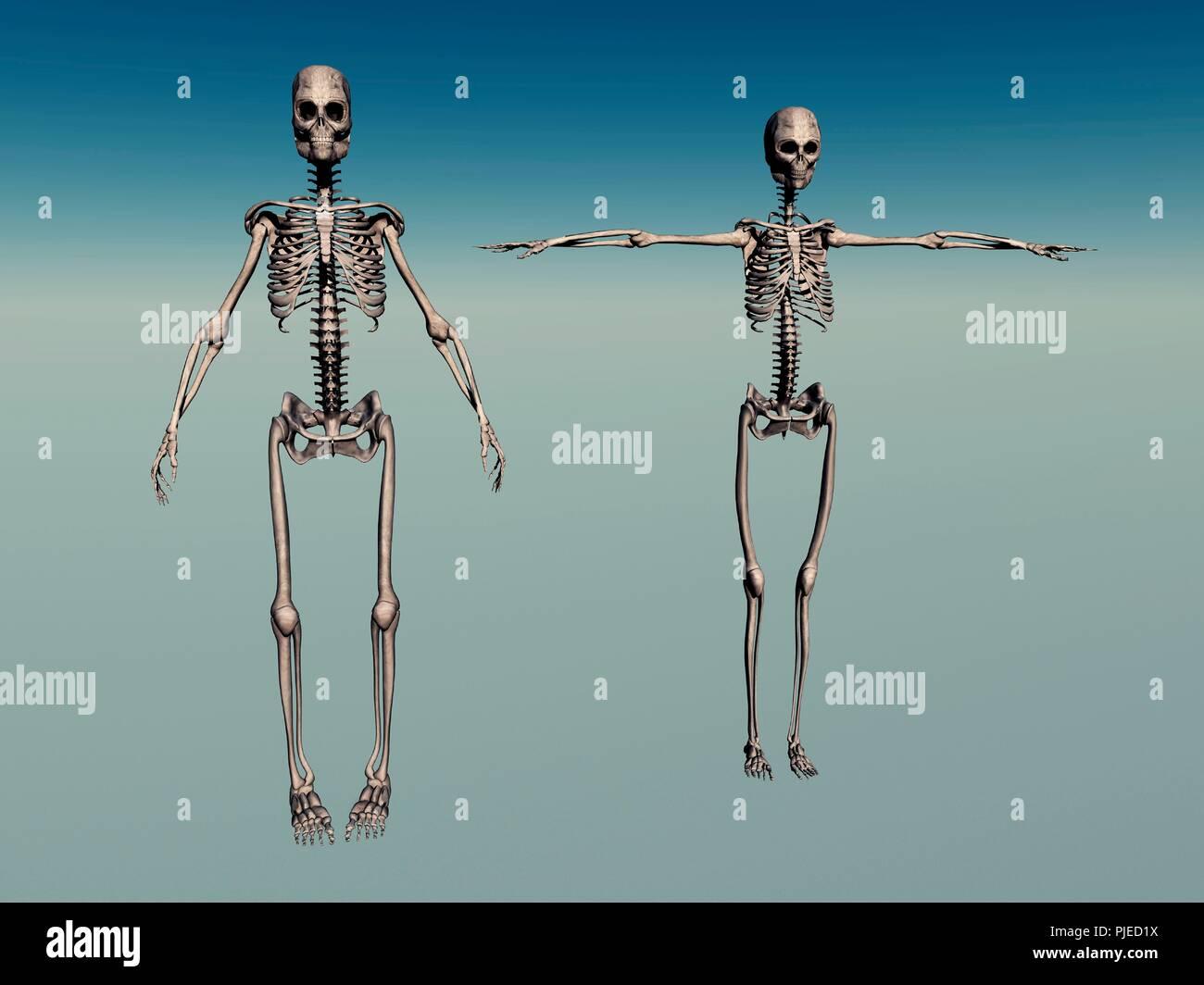 Male Female Human Skeletons Stock Photo 217905798 Alamy