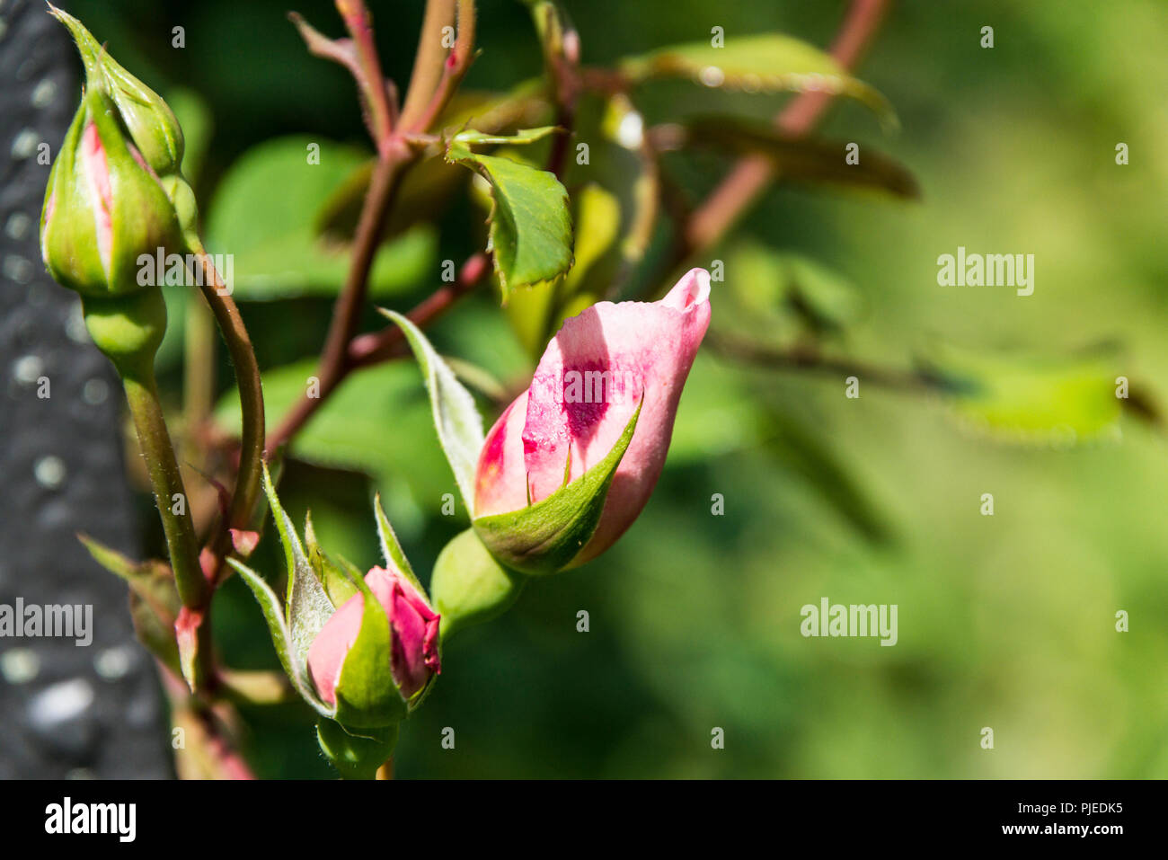 The buds of an English climbing rose 'The Generous Gardener' - Stock Image