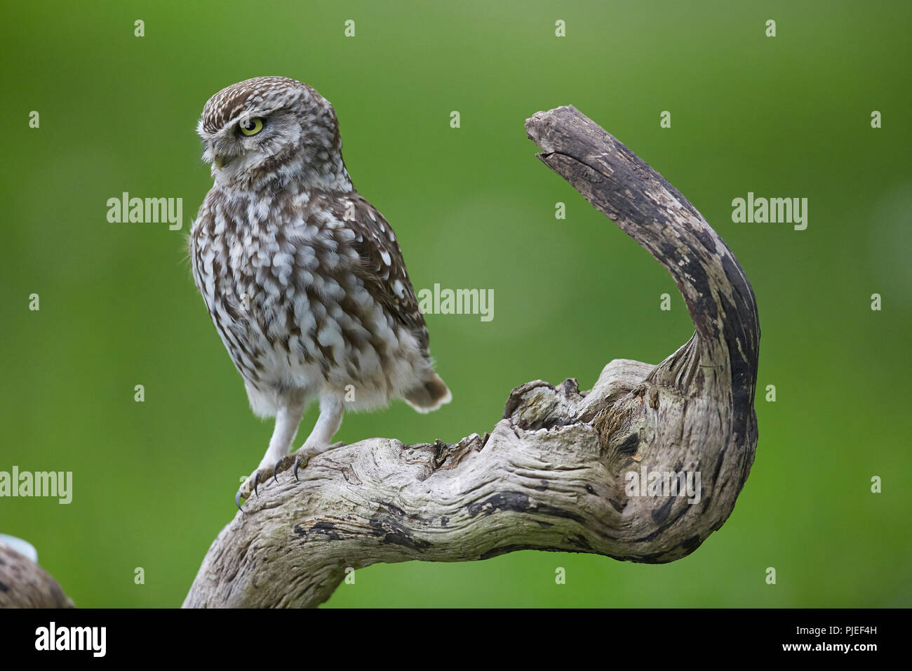 Little Owl, Athene noctua East Yorkshire, UK, sat on a perch, introduced to Britain during the 19th century. - Stock Image