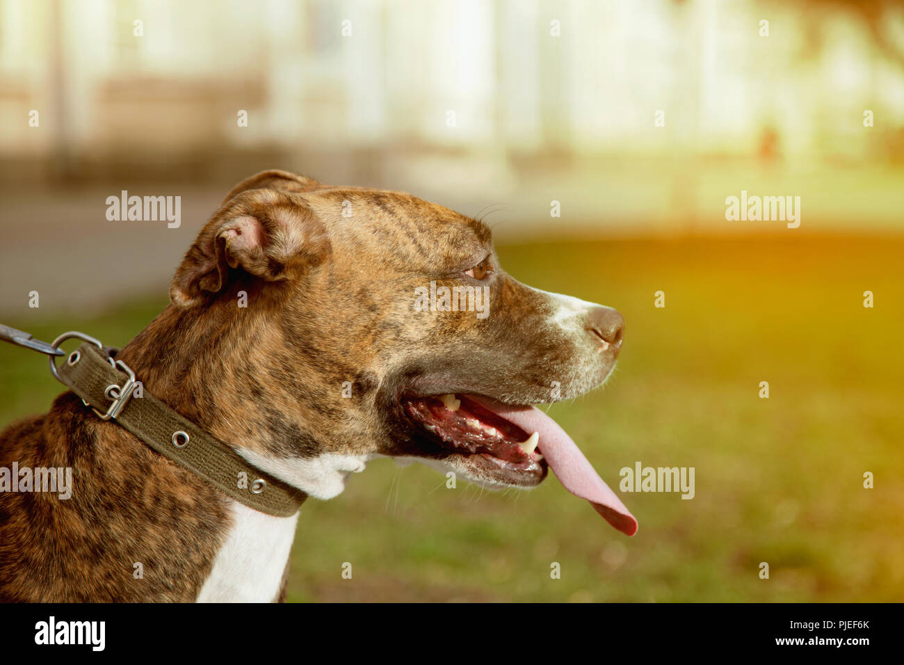 dog on a leash, for a walk, Staffordshire terrier. - Stock Image