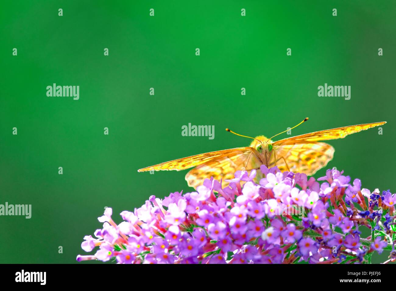 Front view of a butterfly sucking nectar from a pink flower - Stock Image