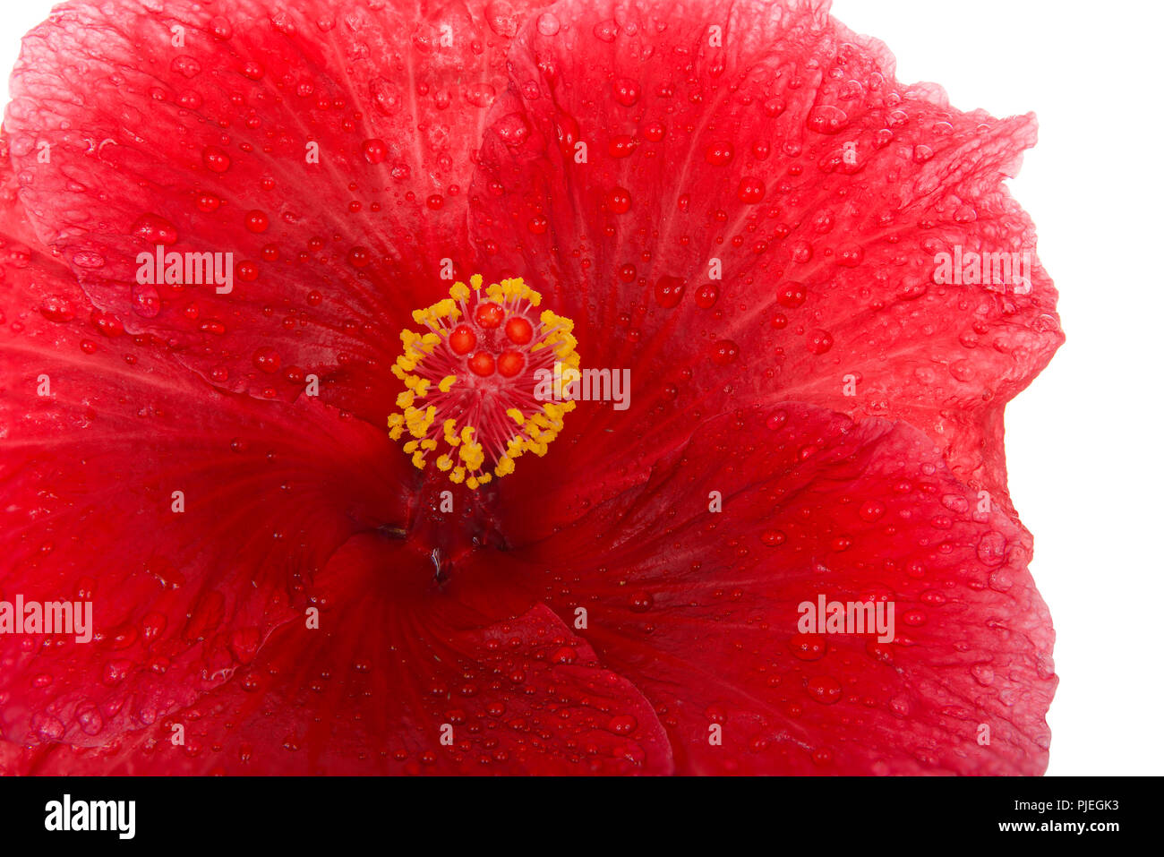 Close up on center of one red hibiscus flower isolated on white close up on center of one red hibiscus flower isolated on white background hibiscus is a genus of flowering plants in the mallow family malvaceae izmirmasajfo