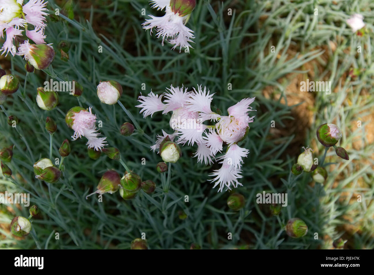 Petite white blossoms of a flower in the garden - Stock Image
