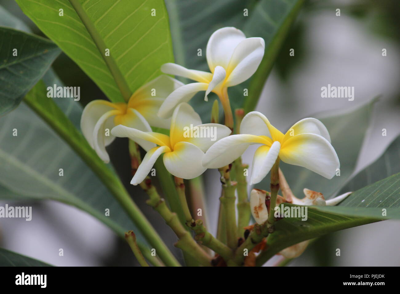 White Yellow Tropical Flowers Stock Photos White Yellow Tropical