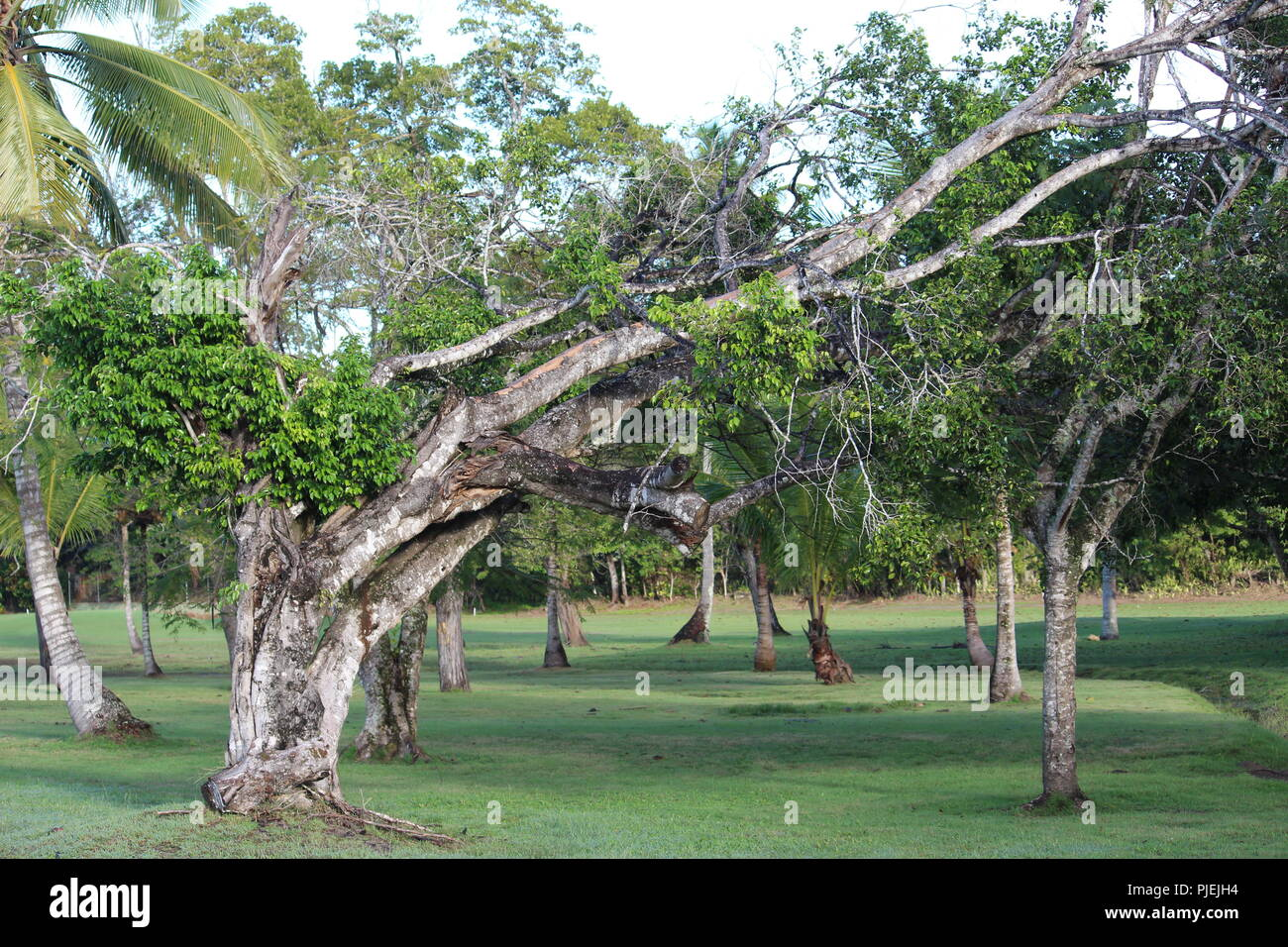 Oddly shaped tree off the 13th fairway at Playa Dorada golf course - Stock Image