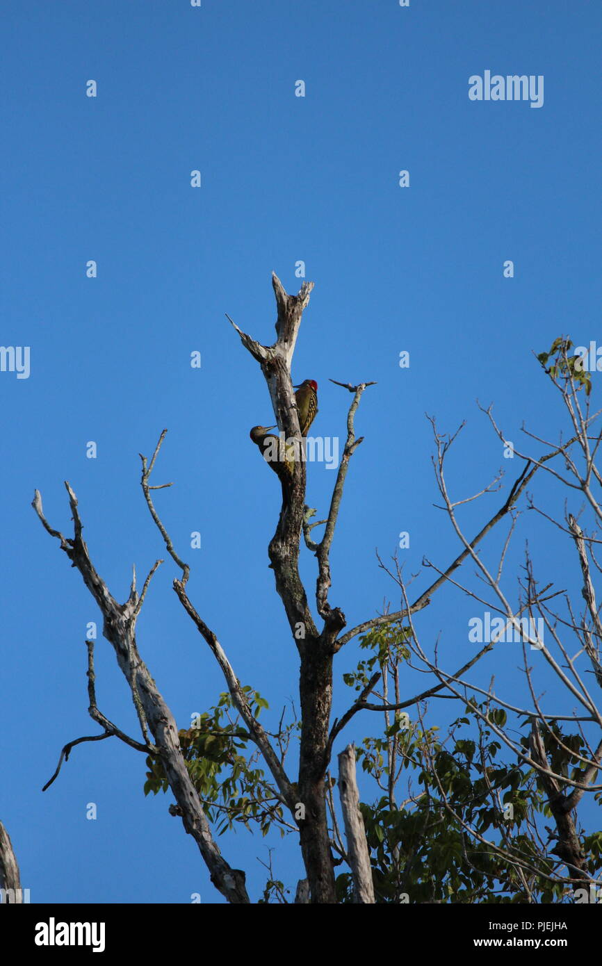 Two woodpeckers on the top of a dead tree with a blue sky behind - Stock Image