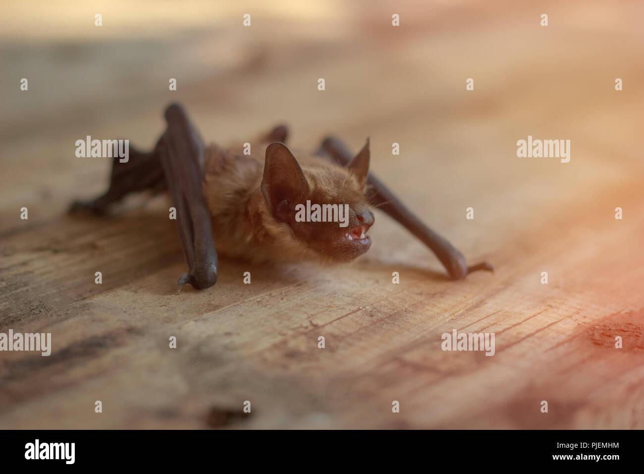 Beautiful Little Bat On A Wooden Surface Stock Photo 217911728 Alamy