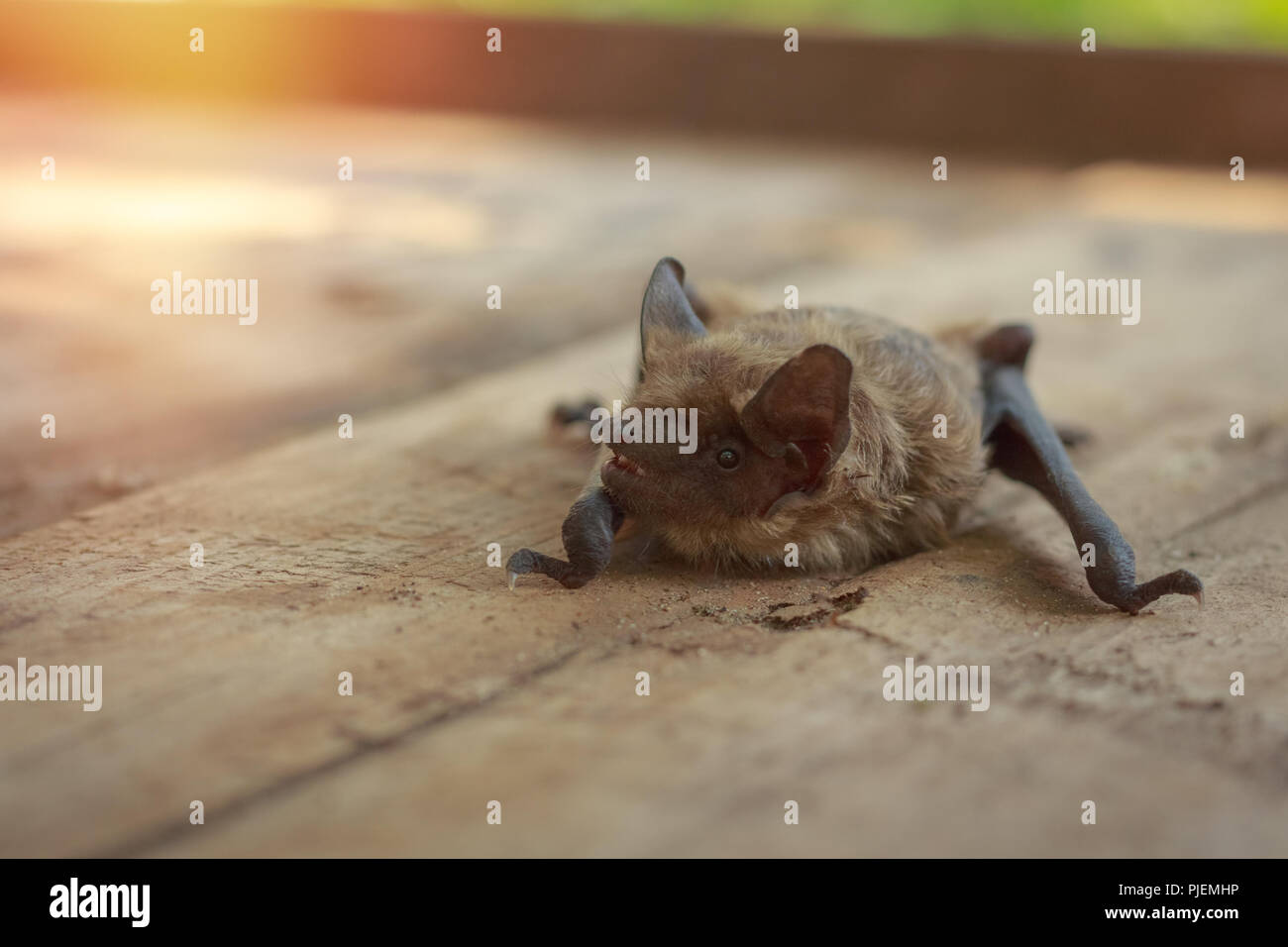 Muzzle Bat Close Up On A Wooden Background In Nature Stock Photo