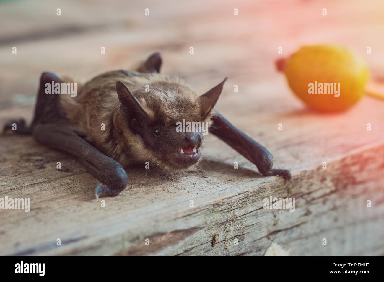 A Bat Close Up Of A Muzzle On A Wooden Table In The Afternoon Stock