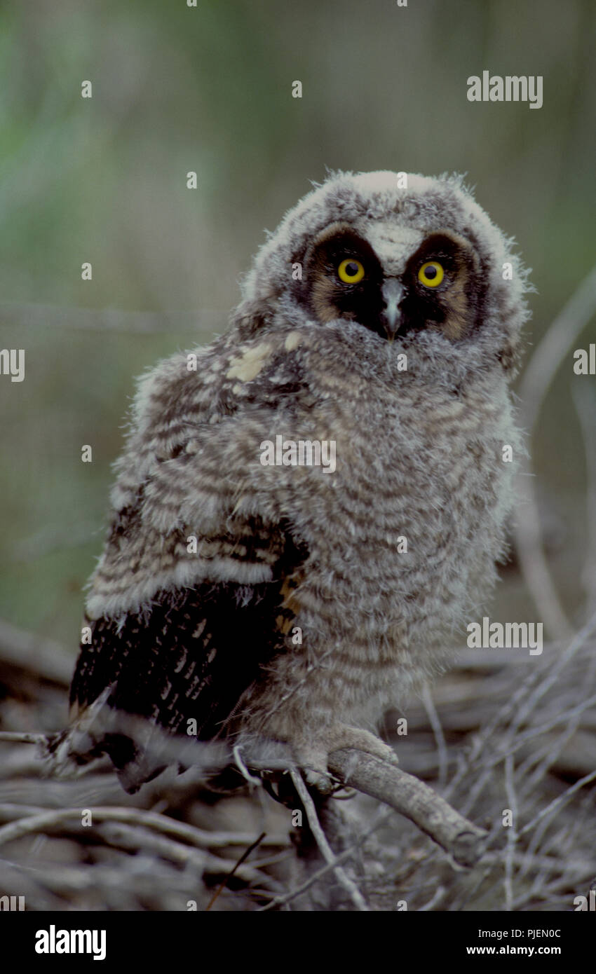 Juvenile long-eared owl (Asio otus) in the Morley Nelson Birds of Prey National Conservation Area in SW Idaho - Stock Image