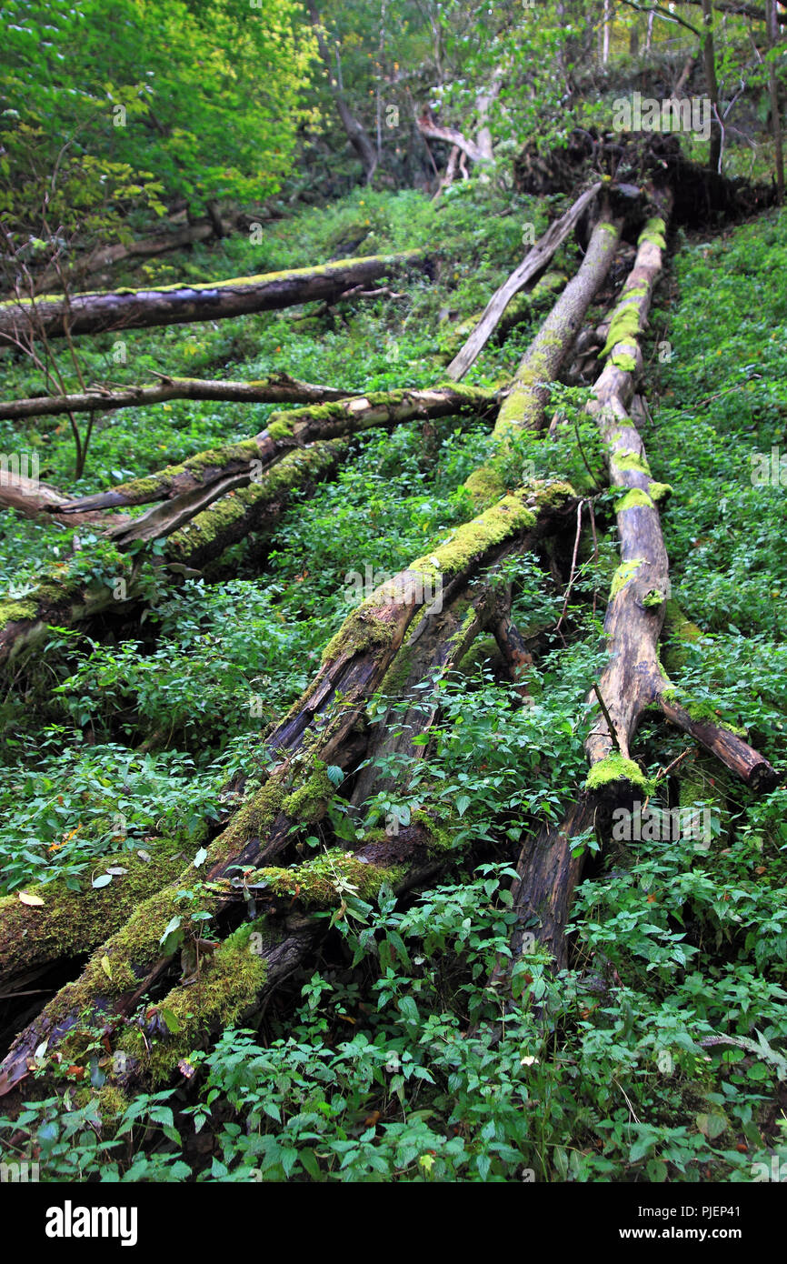 National park resin, Bodetal, footpath Bodetal, dead wood, fallen trees, Nationalpark Harz, Wanderweg Bodetal, Totholz, umgestürzte Bäume - Stock Image