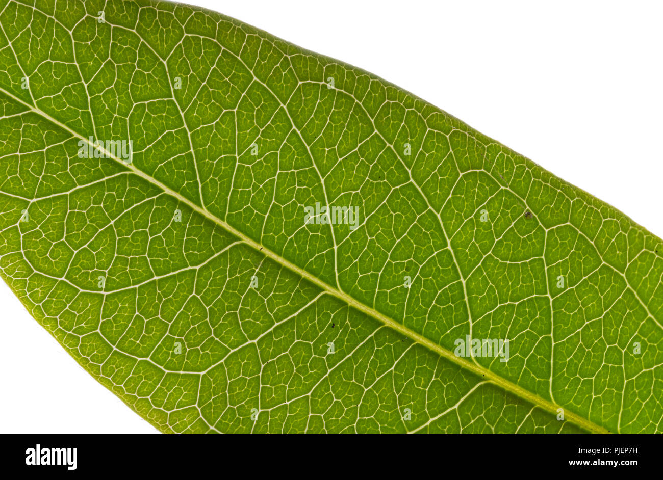 Macro image of a green leaf in Summer against a white background. Stock Photo