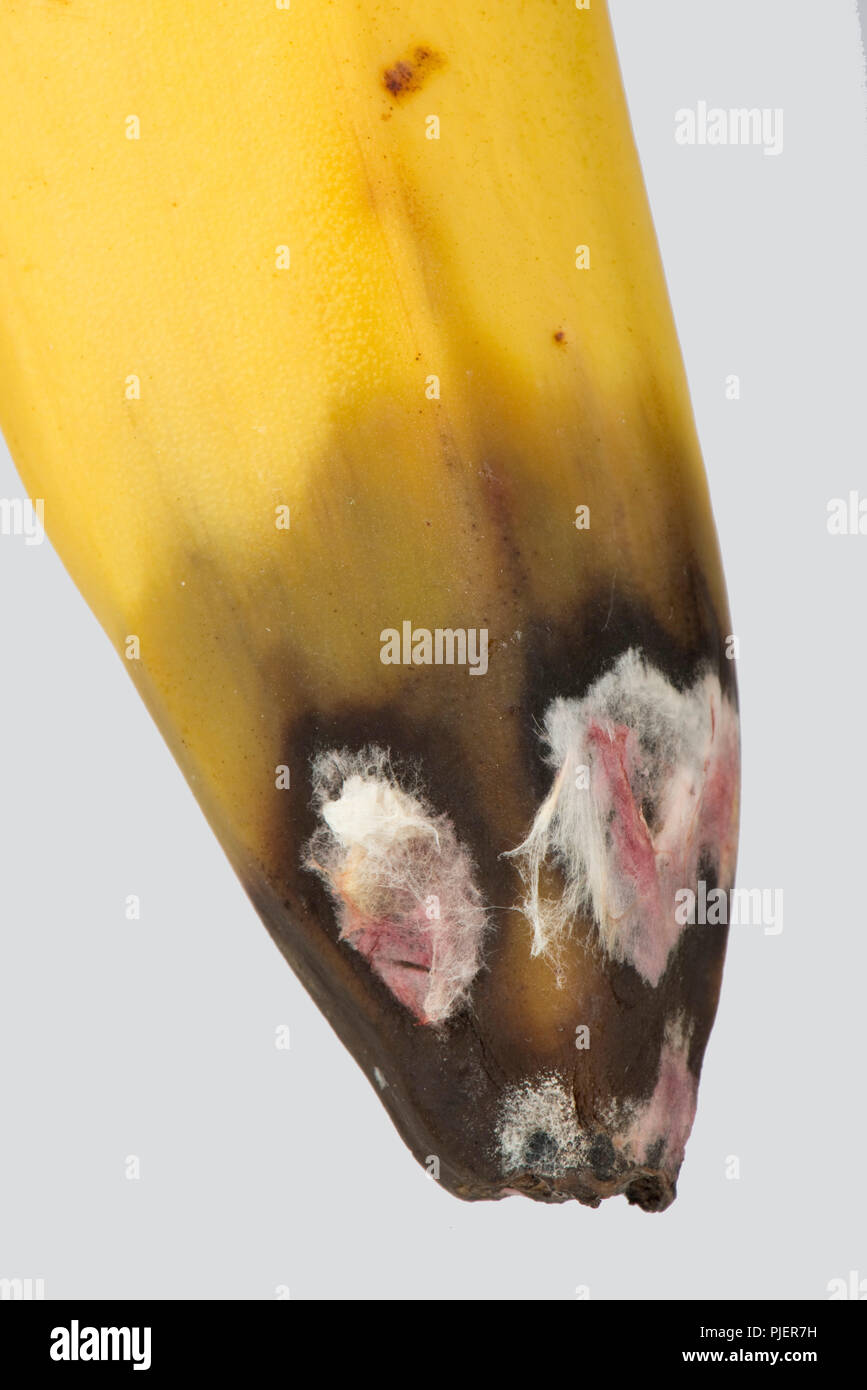 A post-harvest storage rot at the flower end of a banana fruit, pink and white mould with rotting flesh - Stock Image