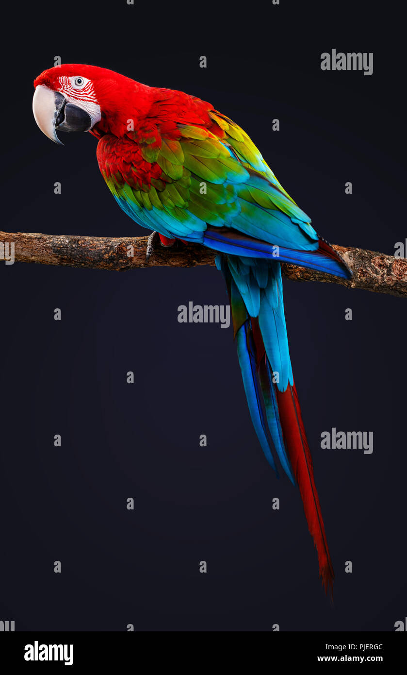 Macaw Parrot isolated on black background - Stock Image