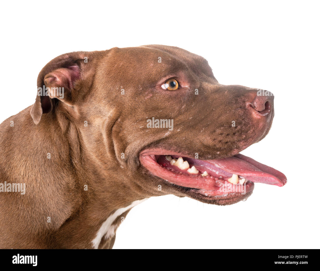 pitbull red nose in front of white background - Stock Image