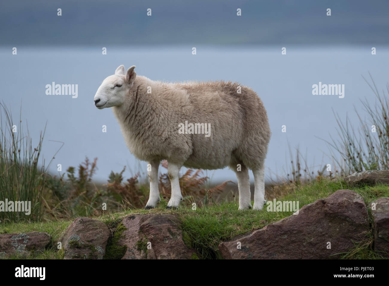 Lone sheep stands on a rocky outcrop in the countryside of the Scottish Highlands, north of Ullapool, in north west Scotland. - Stock Image