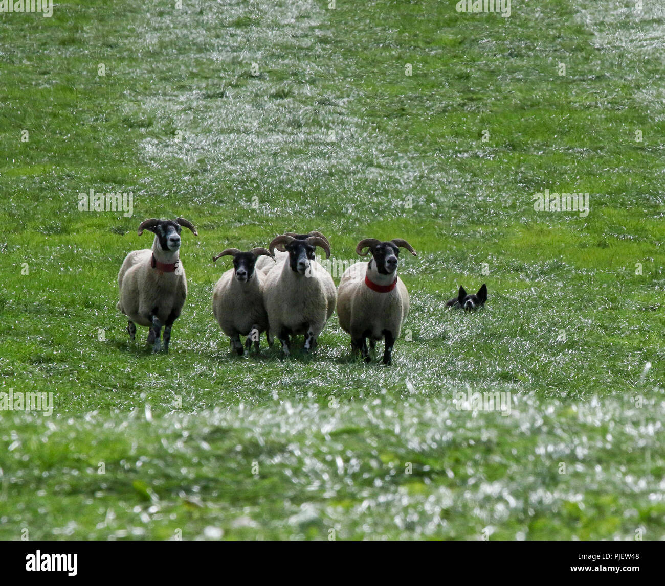 Gill Hall Estate, Dromore, County Down, Northern Ireland. 06 September 2018. Sheep being rounded by collie during competition.Today saw the start of the 2018 International Sheep Dog Trials. The top dogs and handlers from England, Ireland, Scotland and Wales compete for the finals and top titles on Saturday. Credit: David Hunter/Alamy Live News. - Stock Image