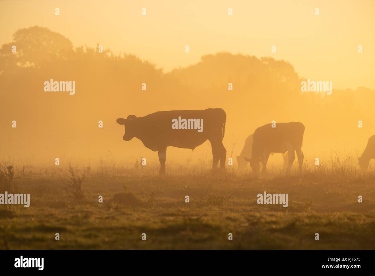 River Stour, Wimborne Minster, Dorset, UK. 7th Sept, 2018. UK Weather. Cows grazing on a misty crisp early autumnal sunrise along the river Stour near Wimborne Minster in Dorset. Credit: DTNews/Alamy Live - Stock Image