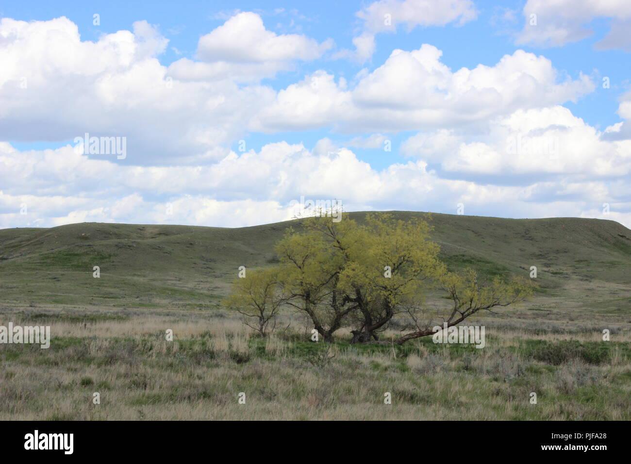 Tree in Grasslands National Park - Stock Image
