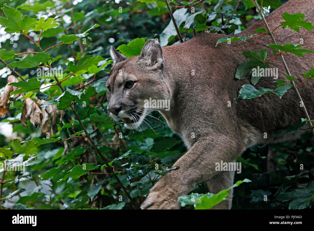 285c05d568cd Puma hunting through trees Stock Photo  217925515 - Alamy