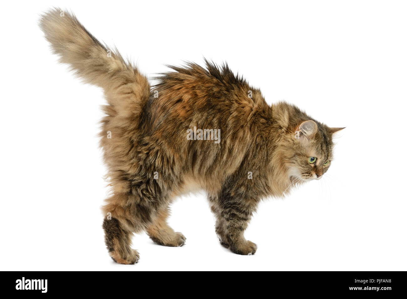 Fluffy angry cat isolated on white background. Side view. - Stock Image