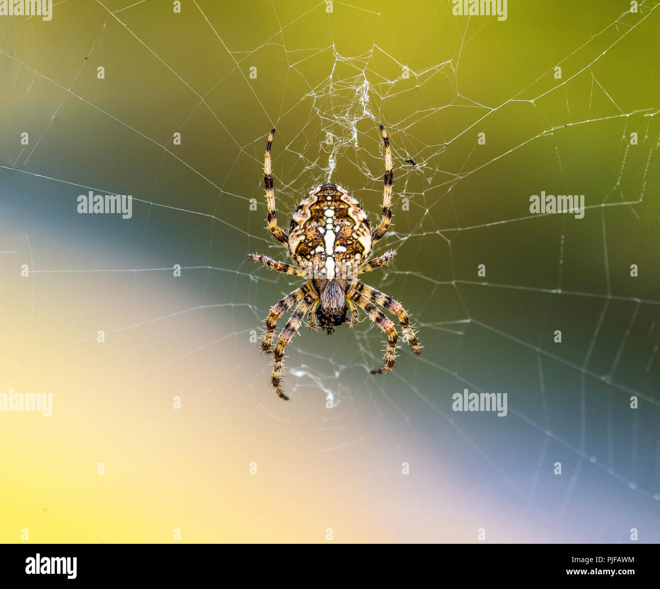 Araneus Diadematus is the Scientific name for this British Cross Orb-Weaver Spider. Situated in centre of its web with every leg monitoring its web. - Stock Image