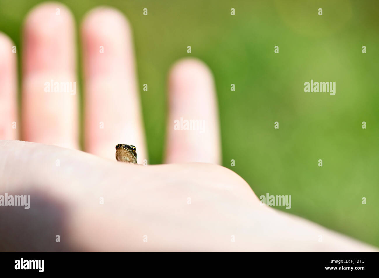 macro  image ,Exploring nature young child holding a very small frog  copy space ideal for a poster  focus of subject blurred background Stock Photo