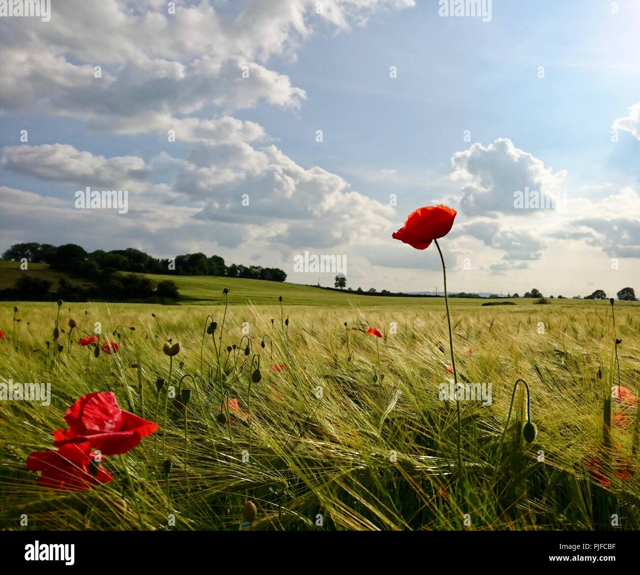 Red Poppy in the Sunshine - Stock Image