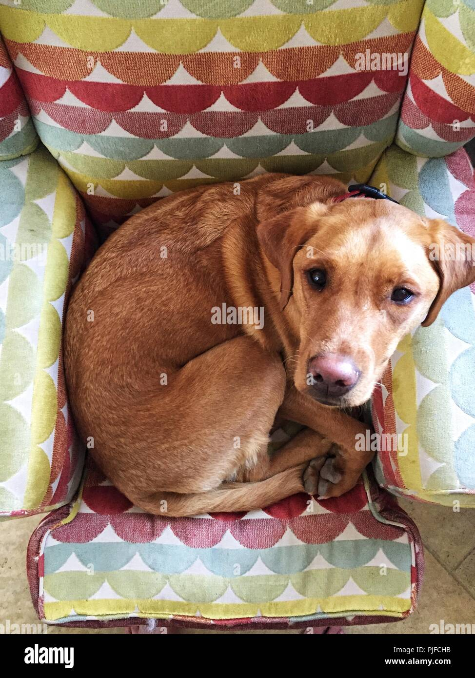 A lazy yellow Labrador retriever dog curled up in ball on a comfy armchair and looking up toward the camera with copy space. - Stock Image