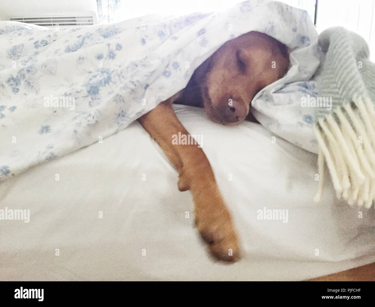 A sleeping yellow Labrador retriever dog under clean white sheets and duvet in a pampered pet image. - Stock Image