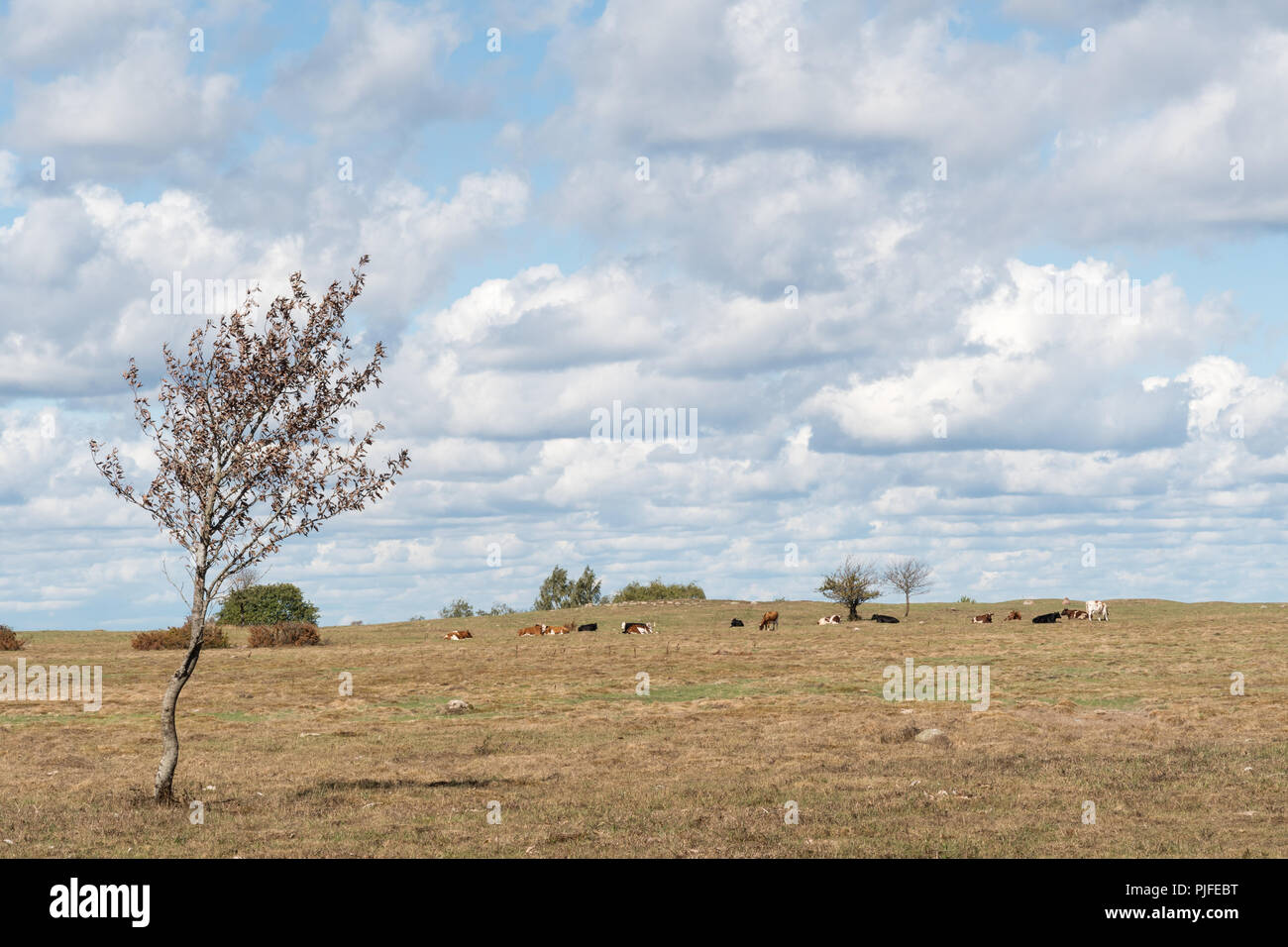 Dry swedish landscape with grazing cattle at the island Oland - Stock Image